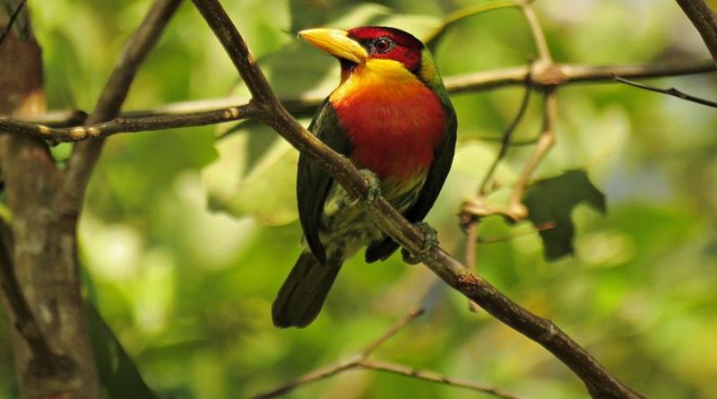 Diversidade de espécies no Juruá favorece atividade de observação de aves